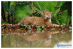 Jaguar_ClimatePartner_Madre-de-Dios